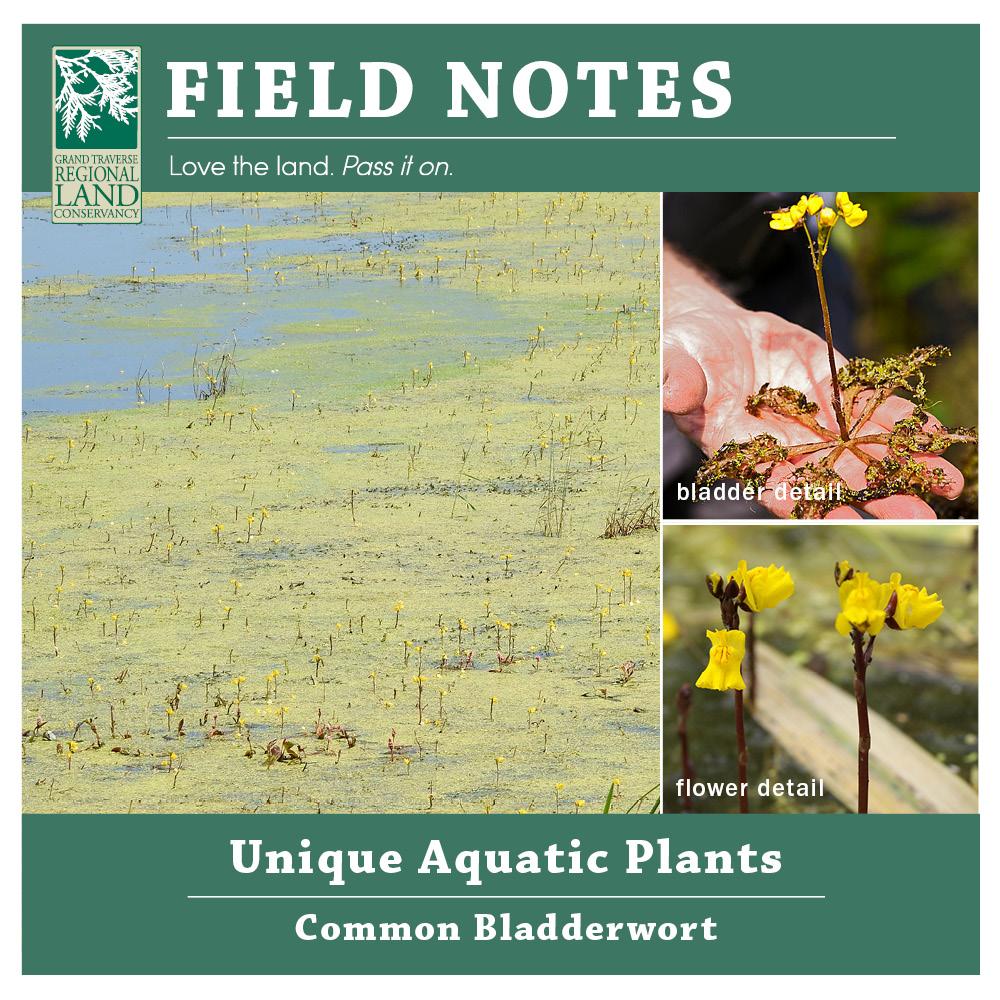 floating species living plants Star Duckweed Lemna trisulca